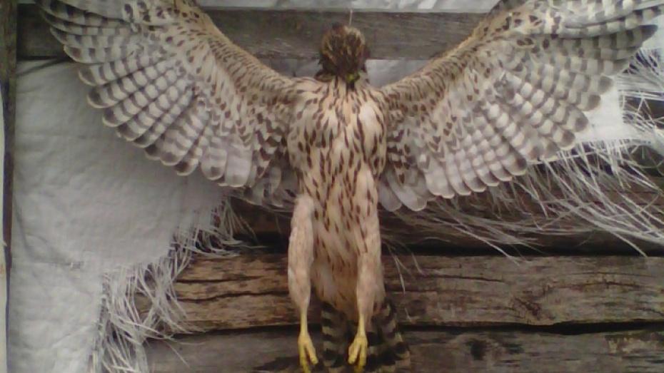 Воронежцы опубликовали в соцсети фото распятой хищной птицы