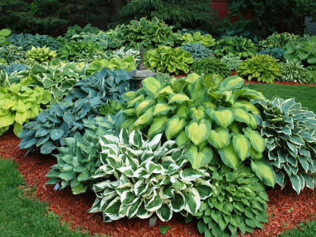 Флористика, хоста — описание растения, особенности выращивания, уход