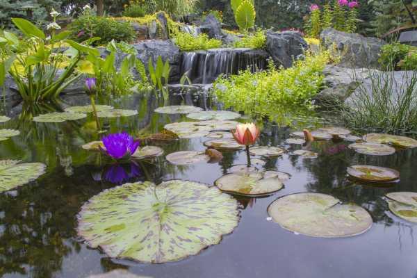 Болотноцветник: пушистый цветок для искусственного водоёма